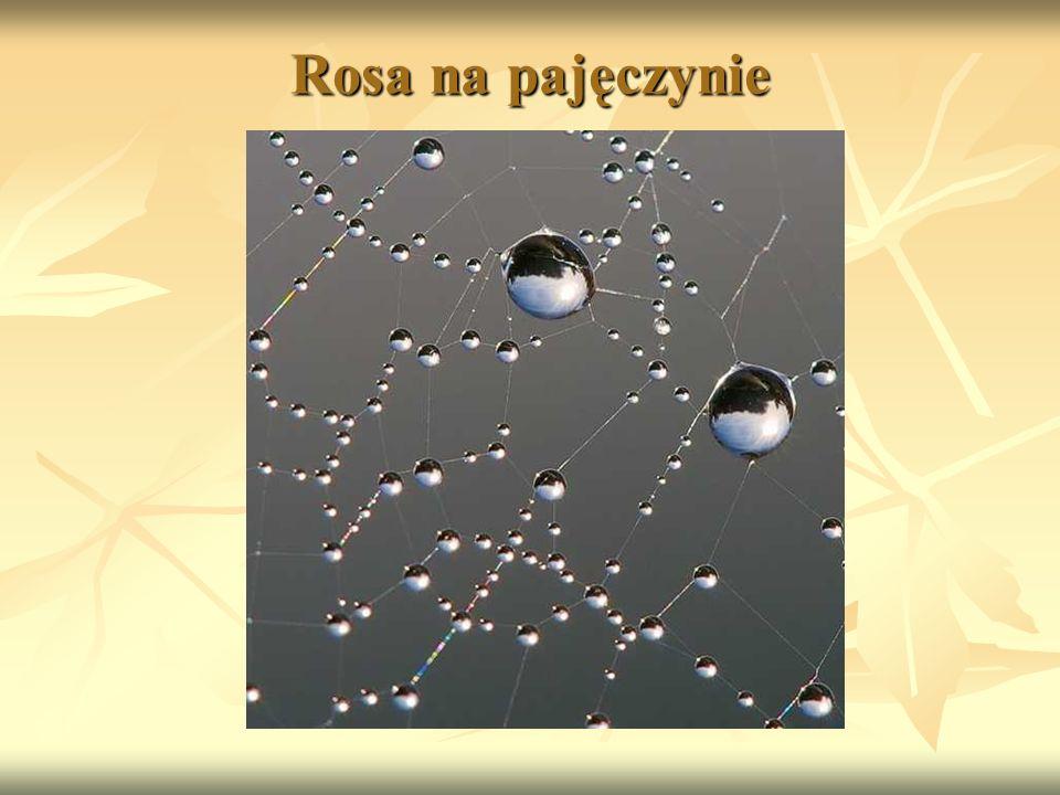 Rosa na pajęczynie