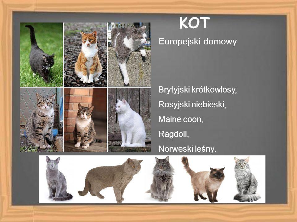 KOT Europejski domowy Brytyjski krótkowłosy, Rosyjski niebieski, Maine coon, Ragdoll, Norweski leśny.