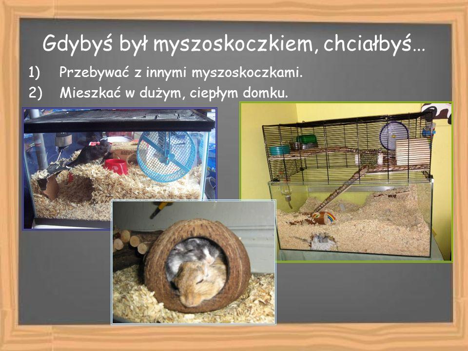 Gdybyś był myszoskoczkiem, chciałbyś… 1)Przebywać z innymi myszoskoczkami. 2)Mieszkać w dużym, ciepłym domku.