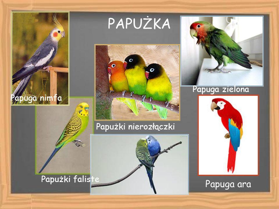 PAPUŻKA Papużki faliste Papużki nierozłączki Papuga nimfa Papuga ara Papuga zielona