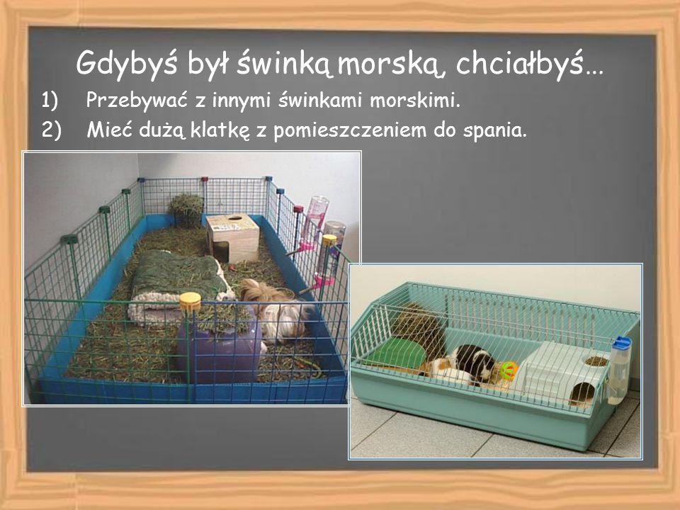 Gdybyś był świnką morską, chciałbyś… 1)Przebywać z innymi świnkami morskimi. 2)Mieć dużą klatkę z pomieszczeniem do spania.