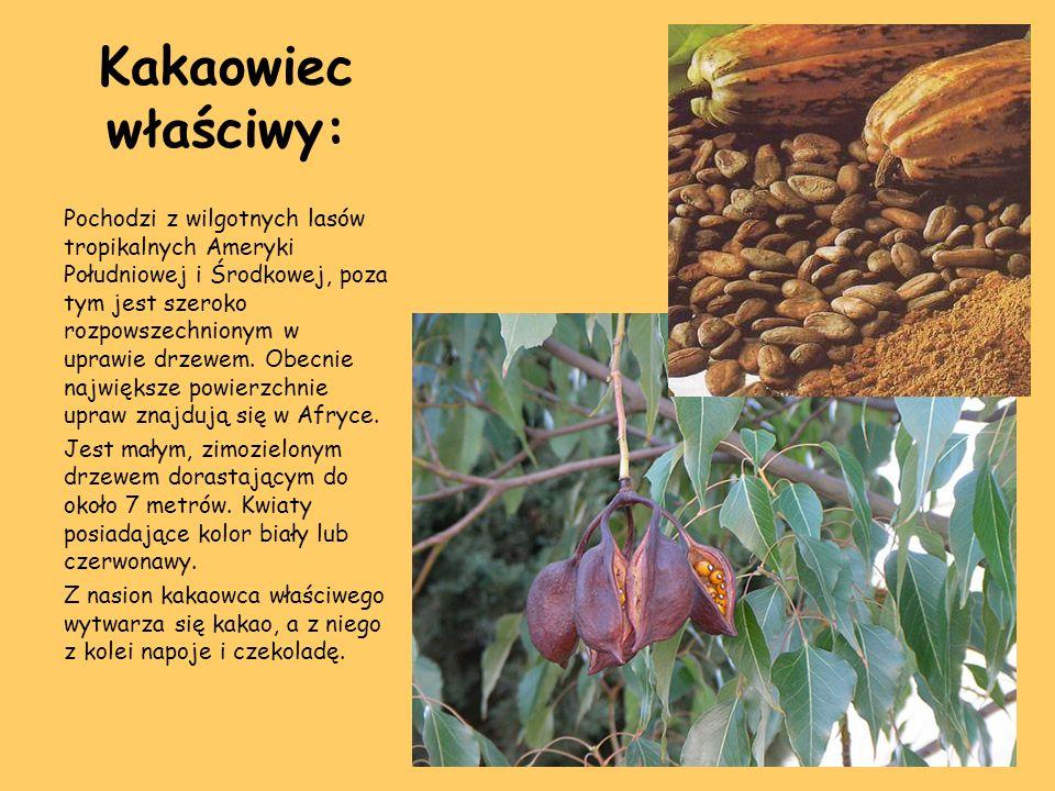 Kakaowiec właściwy: Pochodzi z wilgotnych lasów tropikalnych Ameryki Południowej i Środkowej, poza tym jest szeroko rozpowszechnionym w uprawie drzewe