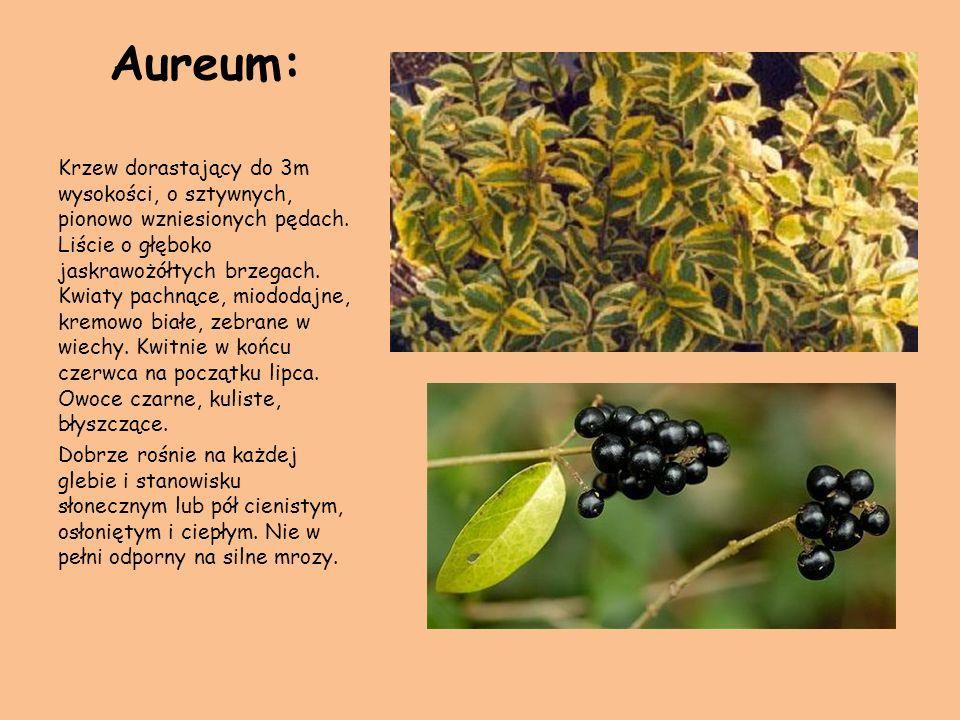 Aureum: Krzew dorastający do 3m wysokości, o sztywnych, pionowo wzniesionych pędach. Liście o głęboko jaskrawożółtych brzegach. Kwiaty pachnące, miodo