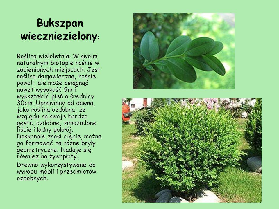 Bukszpan wieczniezielony : Roślina wieloletnia. W swoim naturalnym biotopie rośnie w zacienionych miejscach. Jest rośliną długowieczną, rośnie powoli,