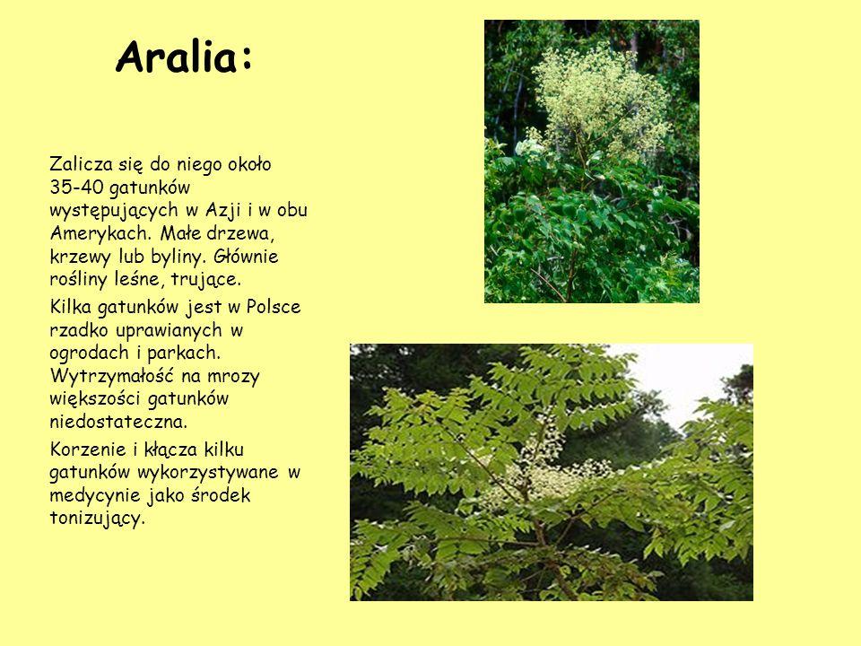 Aralia: Zalicza się do niego około 35-40 gatunków występujących w Azji i w obu Amerykach. Małe drzewa, krzewy lub byliny. Głównie rośliny leśne, trują