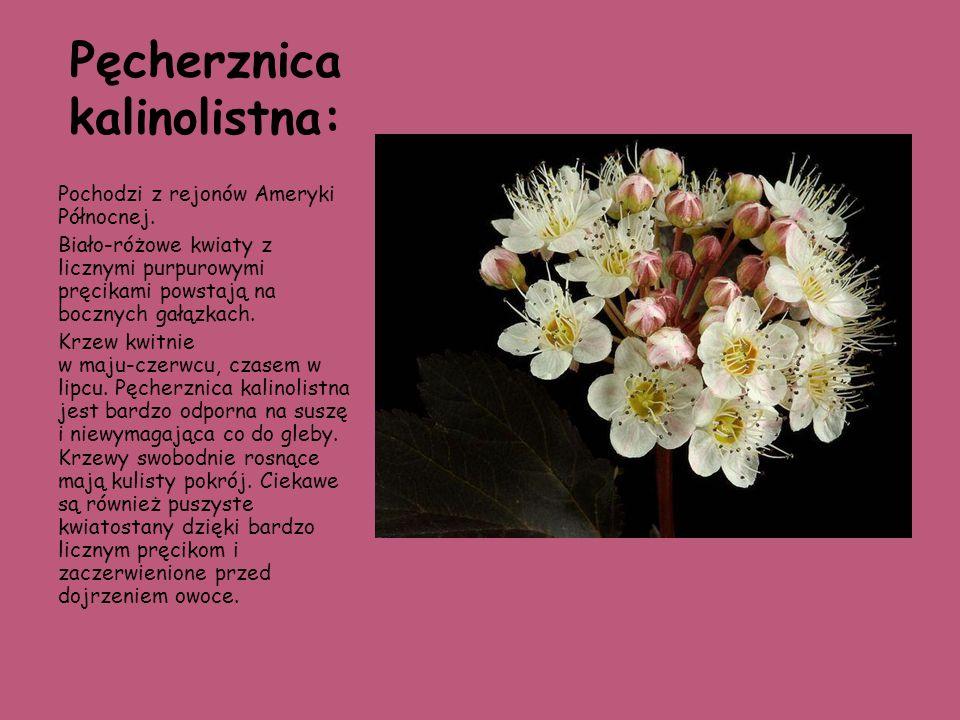 Pęcherznica kalinolistna: Pochodzi z rejonów Ameryki Północnej. Biało-różowe kwiaty z licznymi purpurowymi pręcikami powstają na bocznych gałązkach. K