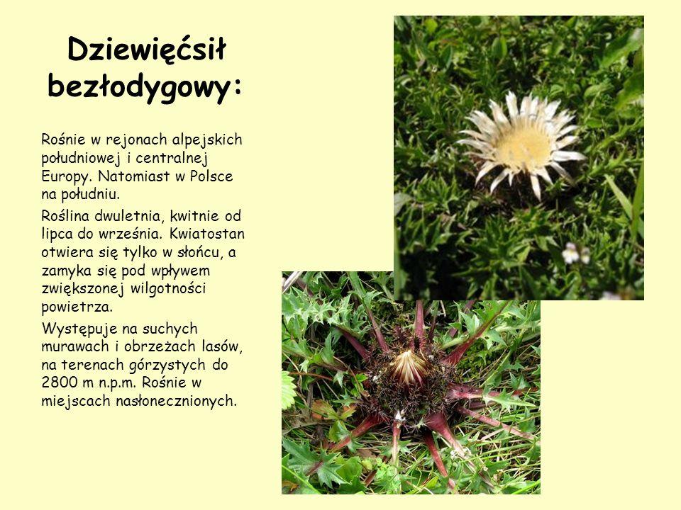 Dziewięćsił bezłodygowy: Rośnie w rejonach alpejskich południowej i centralnej Europy. Natomiast w Polsce na południu. Roślina dwuletnia, kwitnie od l