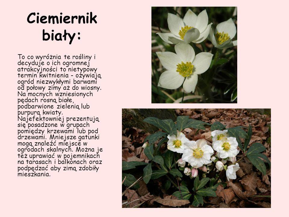 Ciemiernik biały: To co wyróżnia te rośliny i decyduje o ich ogromnej atrakcyjności to nietypowy termin kwitnienia - ożywiają ogród niezwykłymi barwam