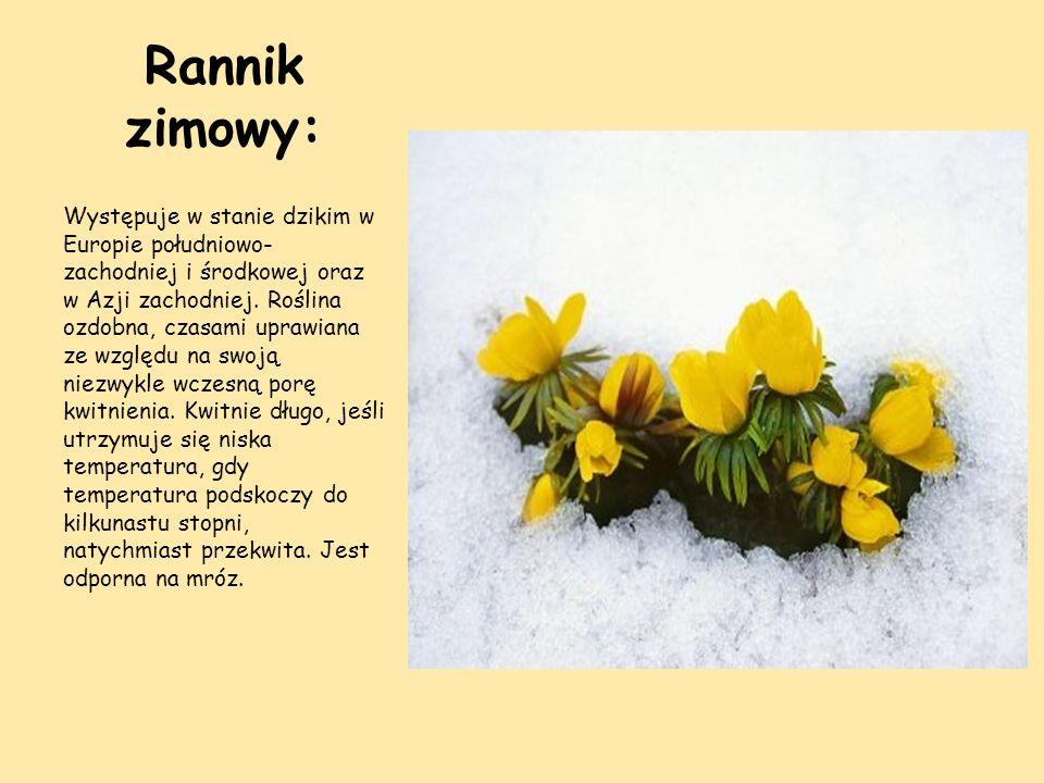Rannik zimowy: Występuje w stanie dzikim w Europie południowo- zachodniej i środkowej oraz w Azji zachodniej. Roślina ozdobna, czasami uprawiana ze wz