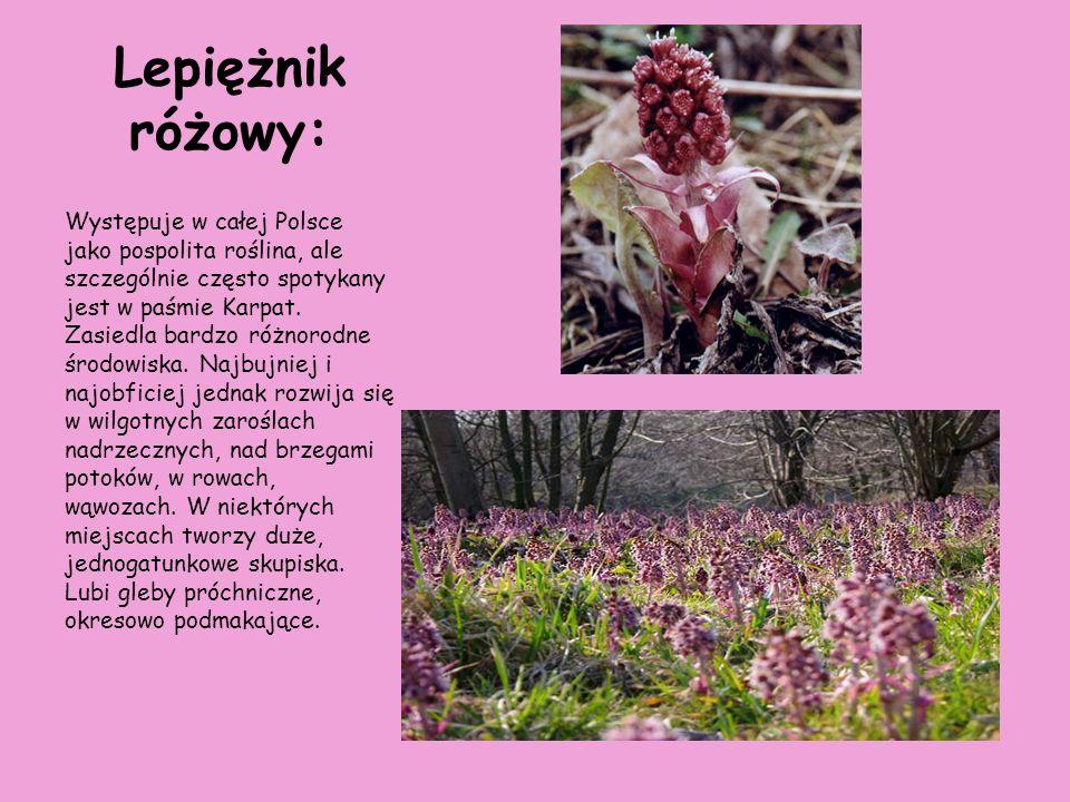 Lepiężnik różowy: Występuje w całej Polsce jako pospolita roślina, ale szczególnie często spotykany jest w paśmie Karpat. Zasiedla bardzo różnorodne ś