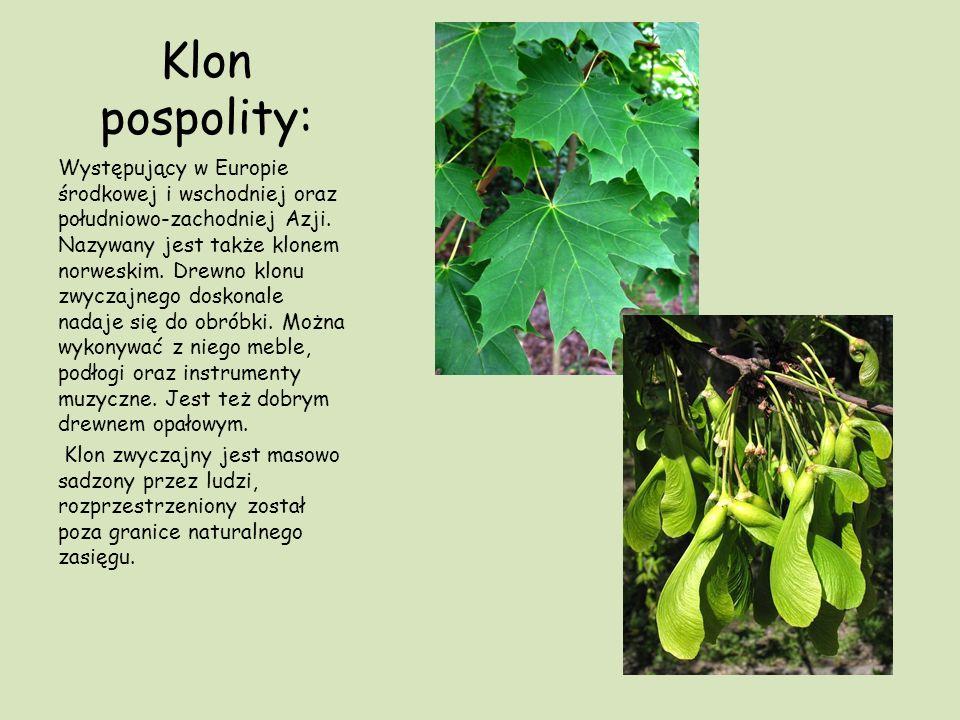 Klon pospolity: Występujący w Europie środkowej i wschodniej oraz południowo-zachodniej Azji. Nazywany jest także klonem norweskim. Drewno klonu zwycz