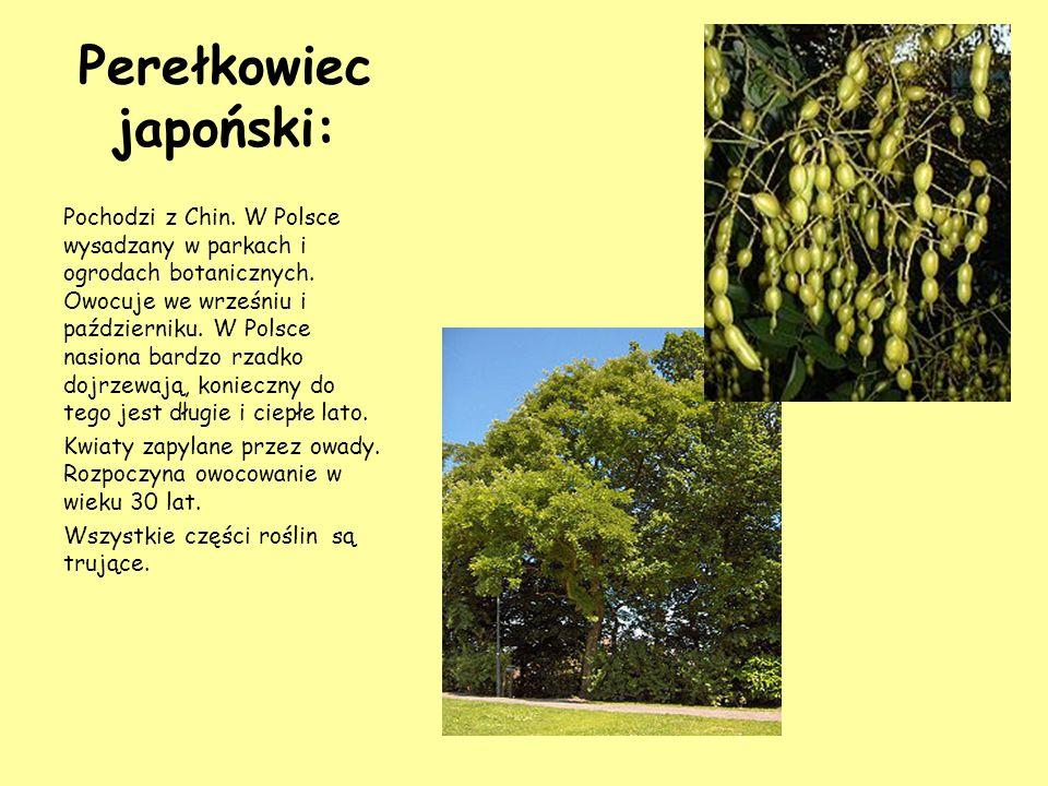 Perełkowiec japoński: Pochodzi z Chin. W Polsce wysadzany w parkach i ogrodach botanicznych. Owocuje we wrześniu i październiku. W Polsce nasiona bard