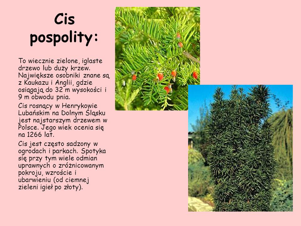 Cis pospolity: To wiecznie zielone, iglaste drzewo lub duży krzew. Największe osobniki znane są z Kaukazu i Anglii, gdzie osiągają do 32 m wysokości i