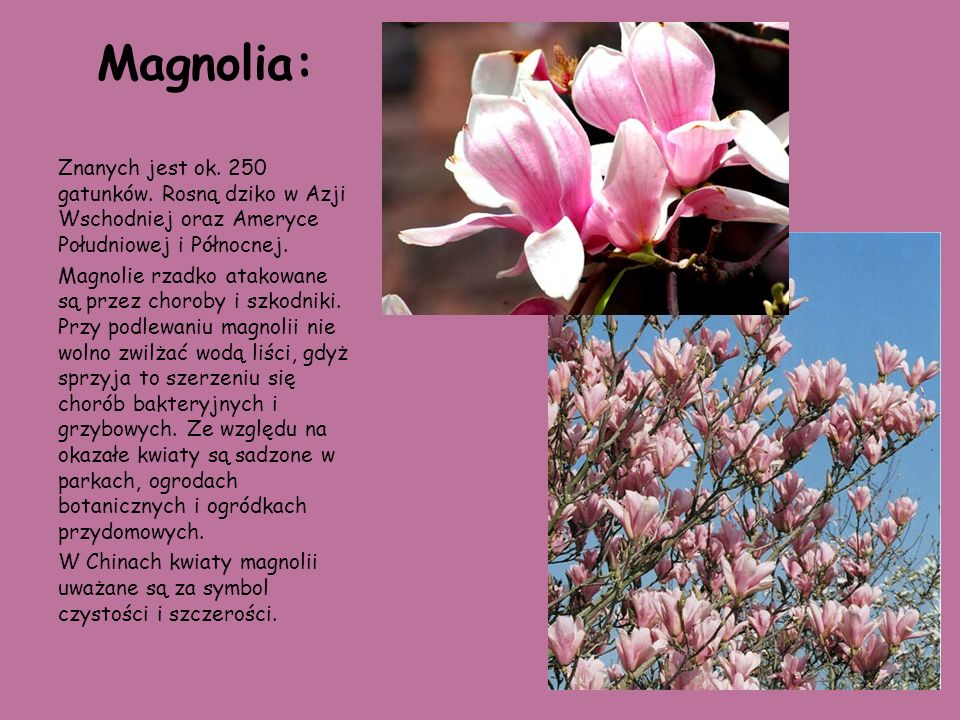 Magnolia: Znanych jest ok. 250 gatunków. Rosną dziko w Azji Wschodniej oraz Ameryce Południowej i Północnej. Magnolie rzadko atakowane są przez chorob
