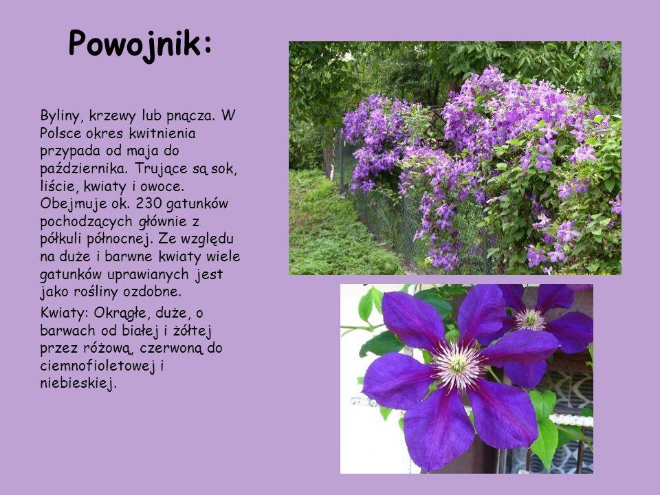 Powojnik: Byliny, krzewy lub pnącza. W Polsce okres kwitnienia przypada od maja do października. Trujące są sok, liście, kwiaty i owoce. Obejmuje ok.
