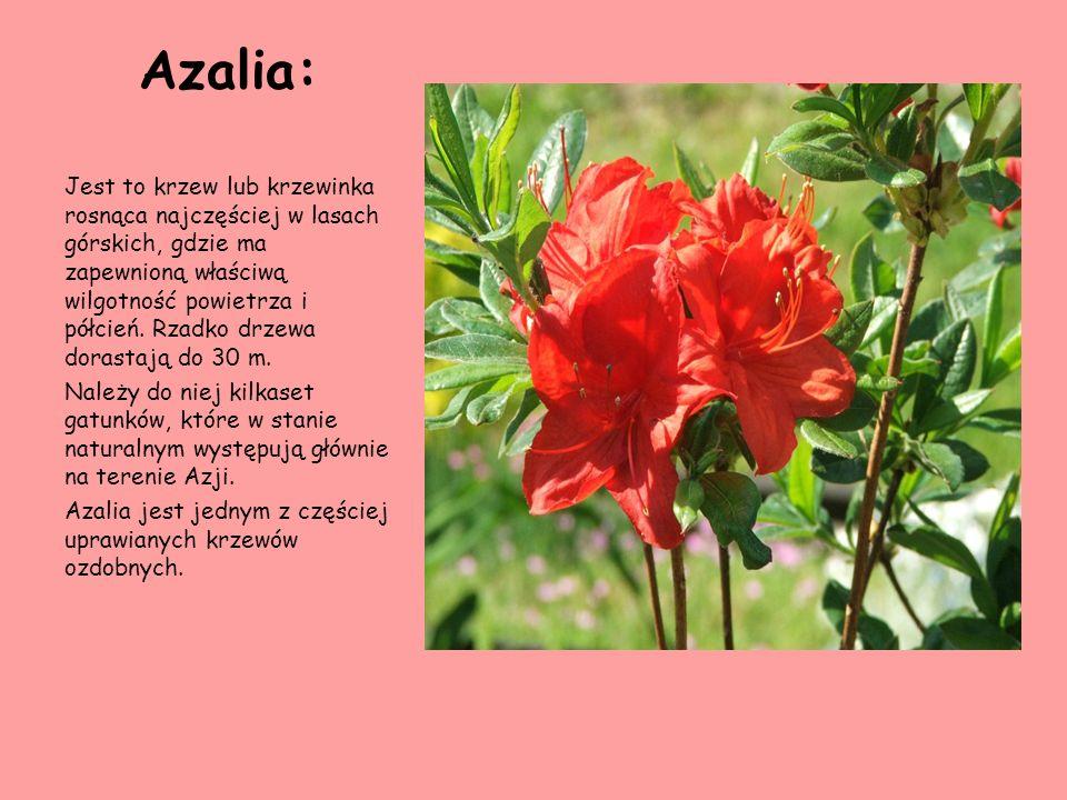 Azalia: Jest to krzew lub krzewinka rosnąca najczęściej w lasach górskich, gdzie ma zapewnioną właściwą wilgotność powietrza i półcień. Rzadko drzewa