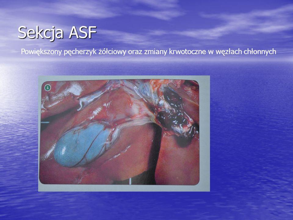 Sekcja ASF Powiększony pęcherzyk żółciowy oraz zmiany krwotoczne w węzłach chłonnych