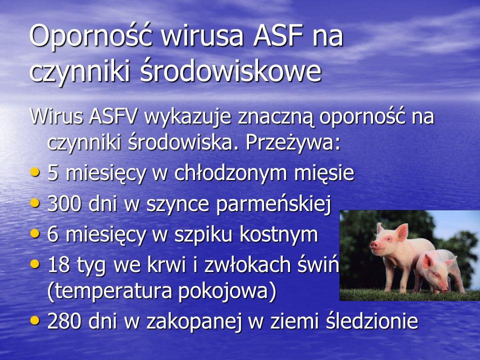 Oporność wirusa ASF na czynniki środowiskowe Wirus ASFV wykazuje znaczną oporność na czynniki środowiska. Przeżywa: 5 miesięcy w chłodzonym mięsie 5 m
