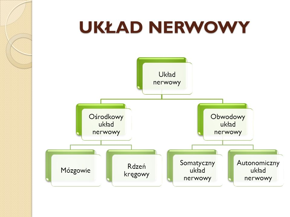 UKŁAD NERWOWY Układ nerwowy Ośrodkowy układ nerwowy Mózgowie Rdzeń kręgowy Obwodowy układ nerwowy Somatyczny układ nerwowy Autonomiczny układ nerwowy