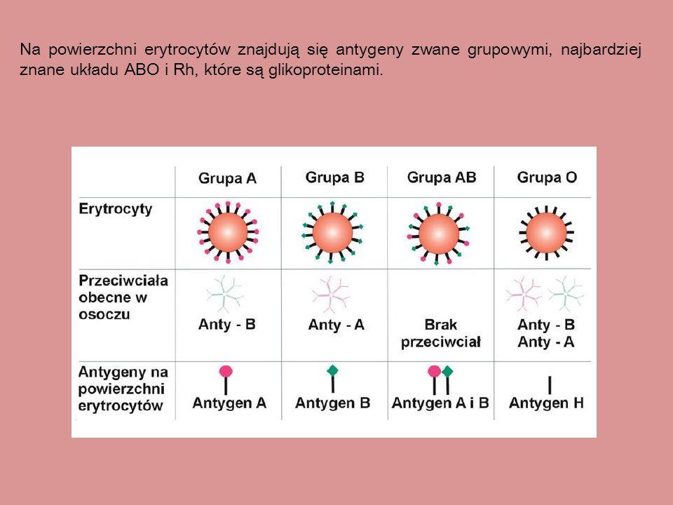 Na powierzchni erytrocytów znajdują się antygeny zwane grupowymi, najbardziej znane układu ABO i Rh, które są glikoproteinami.