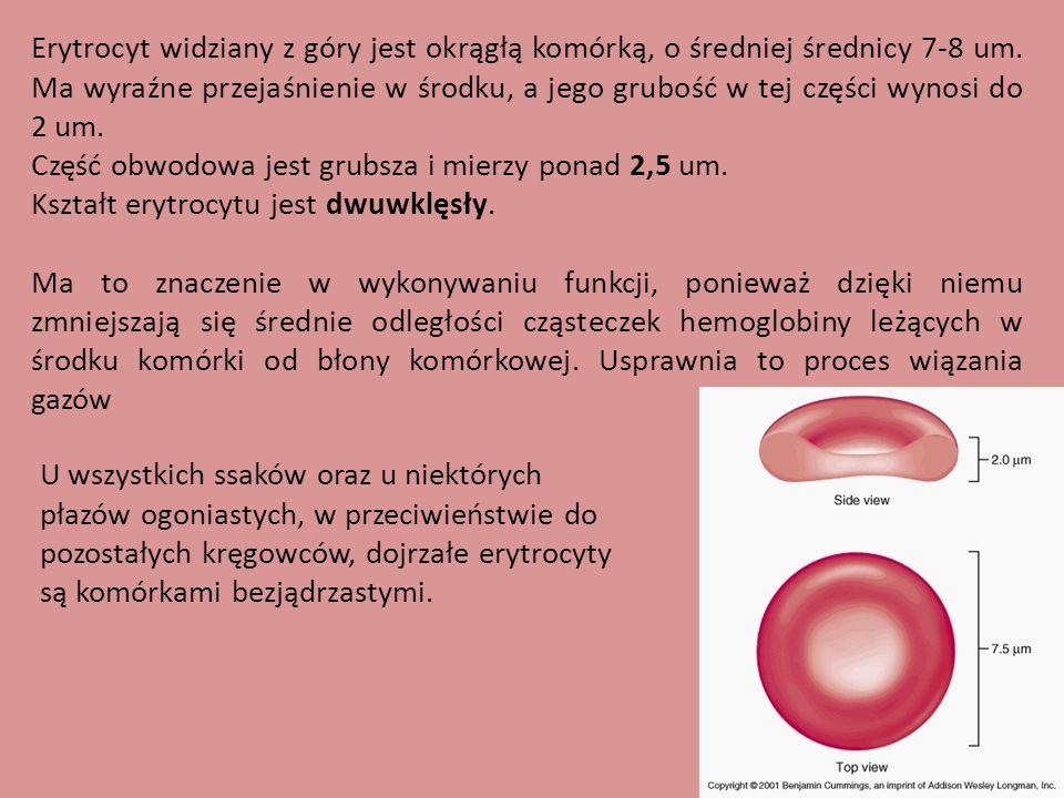 Erytrocyt widziany z góry jest okrągłą komórką, o średniej średnicy 7-8 um. Ma wyraźne przejaśnienie w środku, a jego grubość w tej części wynosi do 2