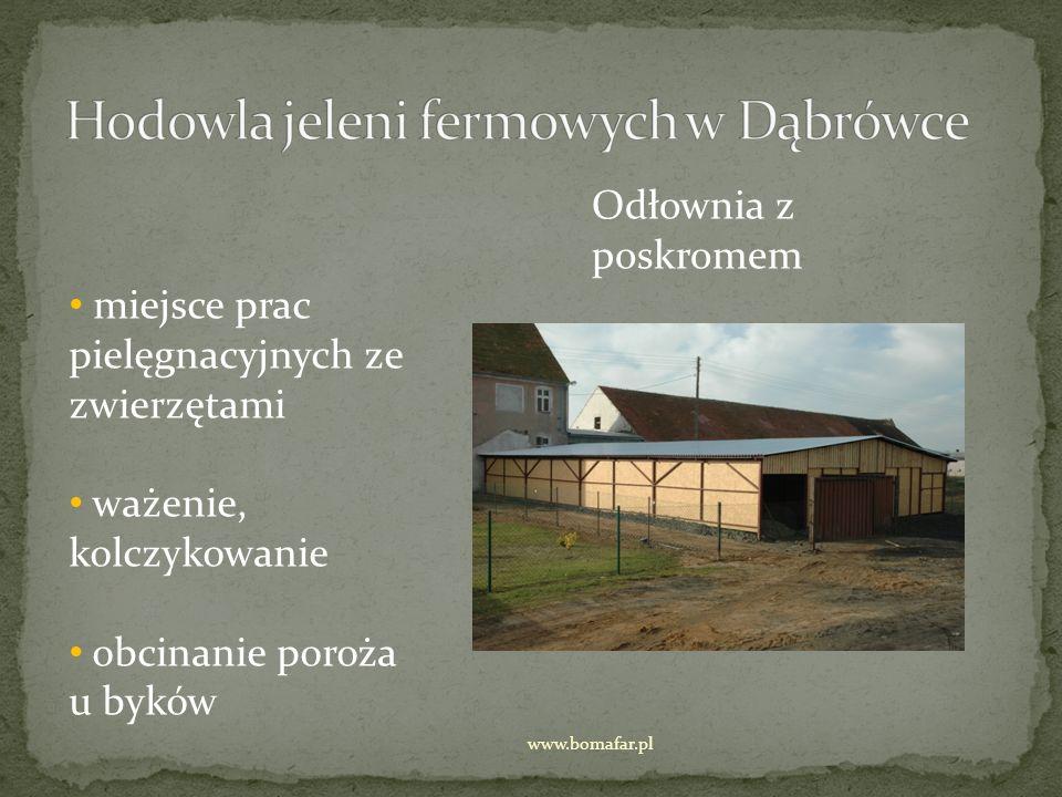 Odłownia z poskromem miejsce prac pielęgnacyjnych ze zwierzętami ważenie, kolczykowanie obcinanie poroża u byków www.bomafar.pl
