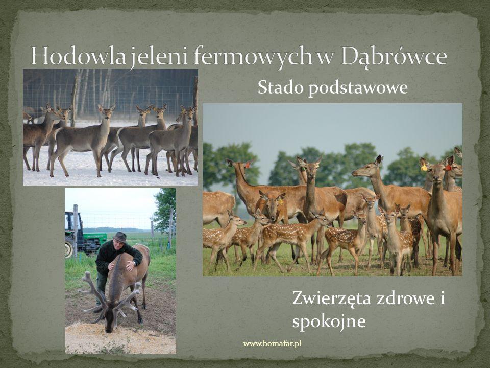 Stado podstawowe Zwierzęta zdrowe i spokojne www.bomafar.pl