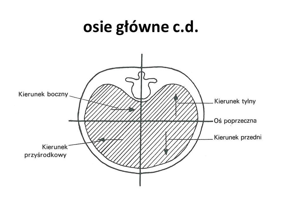 Płaszczyzny główne Przez osie główne (pionową, strzałkową i poprzeczną) można przeprowadzić płaszczyzny.