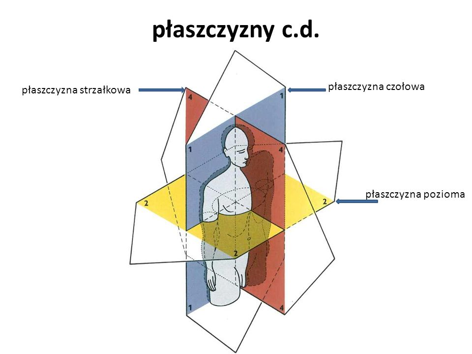 Znaczenie krzywizn kręgosłupa ruchomość odcinkowa ( rola kinetyczna ) c.d.