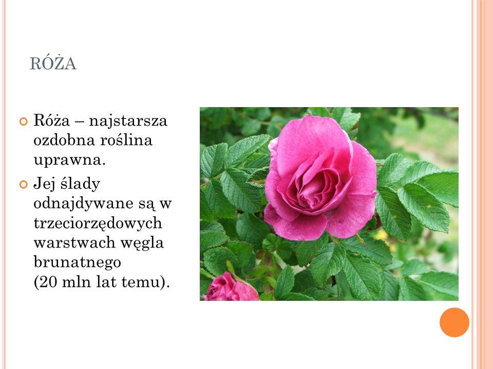 RÓŻA Róża – najstarsza ozdobna roślina uprawna. Jej ślady odnajdywane są w trzeciorzędowych warstwach węgla brunatnego (20 mln lat temu).