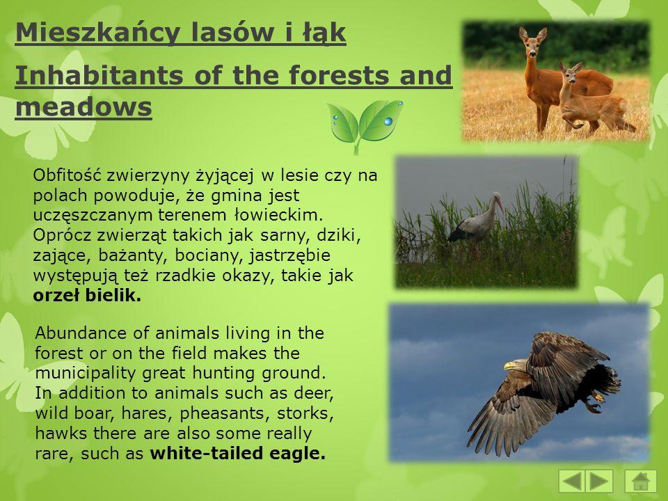 Mieszkańcy lasów i łąk Inhabitants of the forests and meadows Obfitość zwierzyny żyjącej w lesie czy na polach powoduje, że gmina jest uczęszczanym te