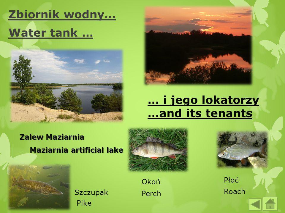 Zbiornik wodny… Water tank … Zalew Maziarnia Maziarnia artificial lake Maziarnia artificial lake … i jego lokatorzy …and its tenants Okoń Szczupak Pło
