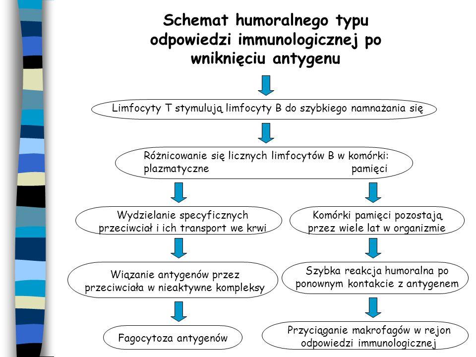 Wniknięcie antygenu do organizmu Związanie antygenu z makrofagiem i aktywacja limfocytów T Szybkie namnażanie limfocytów T komórek pamięci Gromadzenie się komórek pamięci w węzłach chłonnych Po ponownym kontakcie z antygenem szybka odpowiedź immunologiczna Powstawanie limfocytów T w węzłach chłonnych Gromadzenie się limfocytów T w miejscu wtargnięcia antygenu Uwalnianie cytotoksycznych białek niszczących antygeny Schemat komórkowego typu odpowiedzi immunologicznej organizmu Przyciąganie makrofagów w rejon odpowiedzi immunologicznej