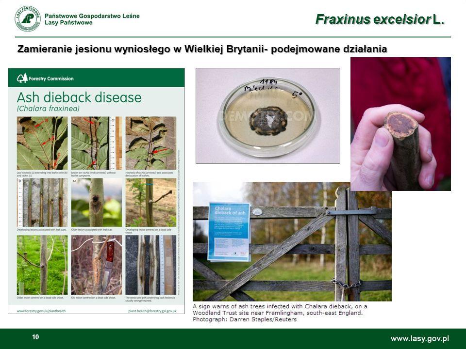 10 Fraxinus excelsior L. Zamieranie jesionu wyniosłego w Wielkiej Brytanii- podejmowane działania