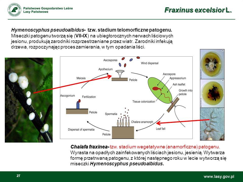27 Hymenoscyphus pseudoalbidus- tzw. stadium telomorficzne patogenu. Miseczki patogenu tworzą się (VII-IX) na ubiegłorocznych nerwach liściowych jesio