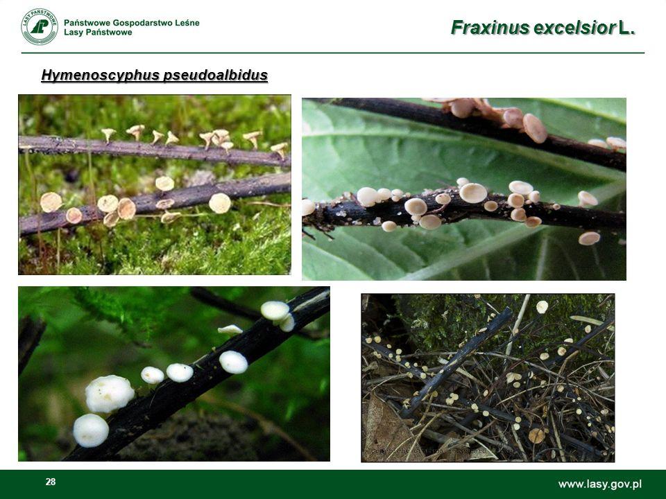 28 Hymenoscyphus pseudoalbidus Fraxinus excelsior L.