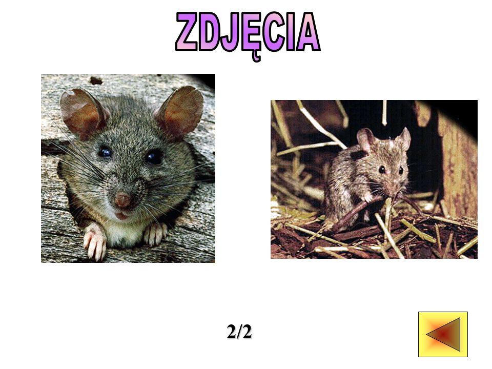Mysz jest małym szczurem - lub - szczur jest większą myszą.