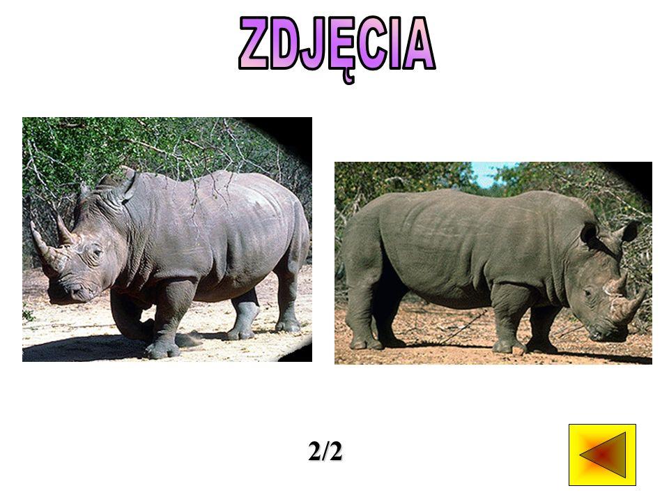 Znamy pięć gatunków nosorożców.Nosorożce czarny i biały występują w Afryce.