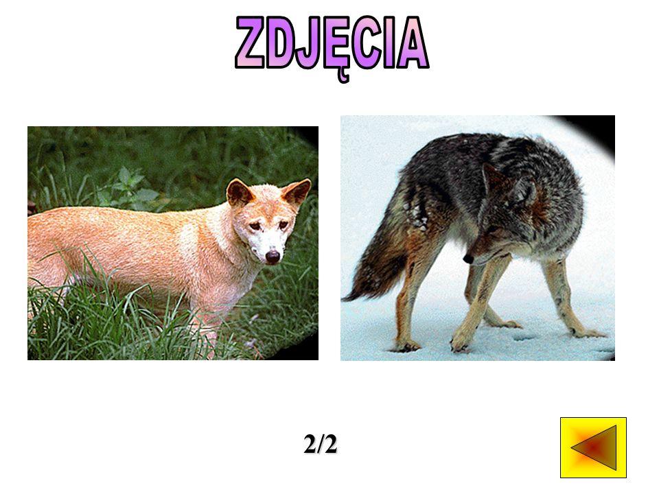 Dzikie psy żyją w stadach rodzinnych - sforach liczących do 30 dorosłych osobników.