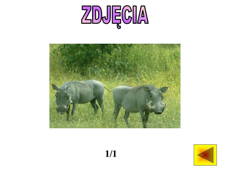 Trzy gatunki dzikich świń występują w Afryce, jeden w Eurazji, pozostałe cztery żyją na wyspach południowej Azji.