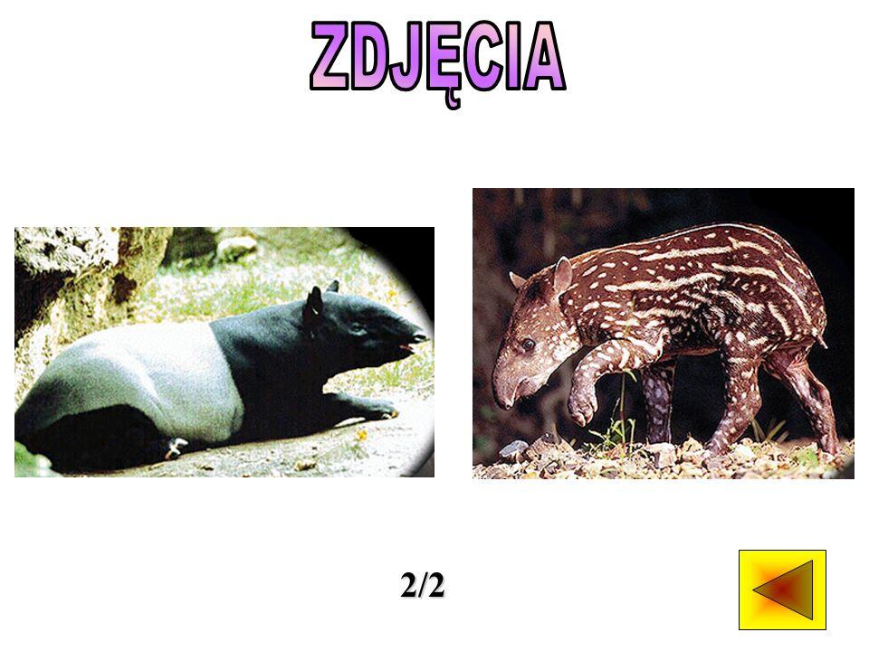 Tapiry występują w dwóch odrębnych częściach świata.