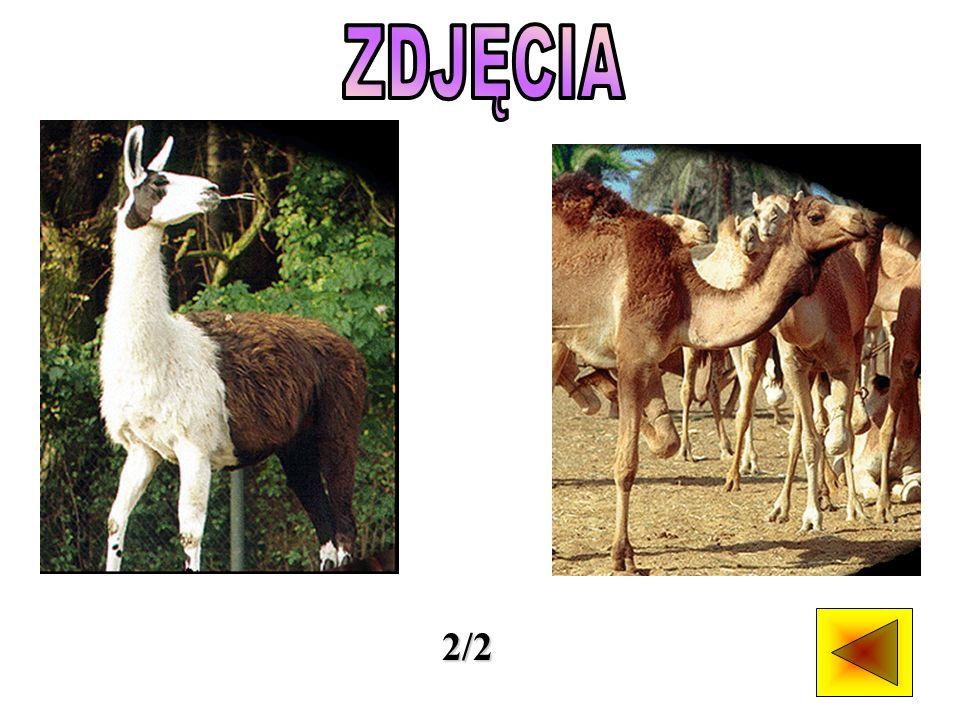 Rodzina wielbłądowatych składa się z sześciu gatunków.