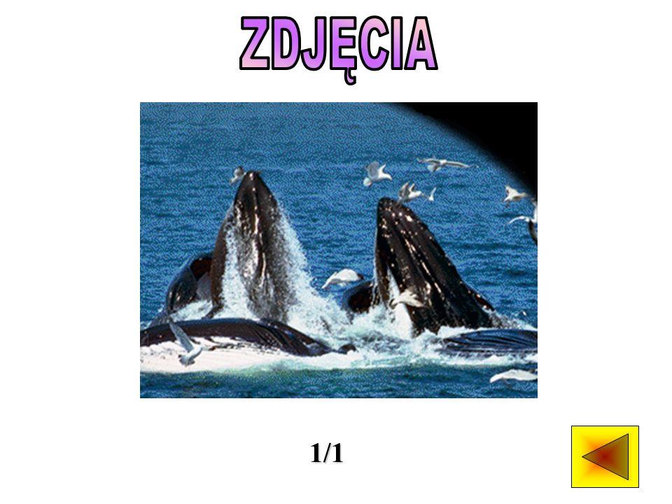 Do rodziny płetwali - znanych też jako wieloryby fałdowce, należy największe zwierzę żyjące na ziemi, czyli płetwal błękitny.