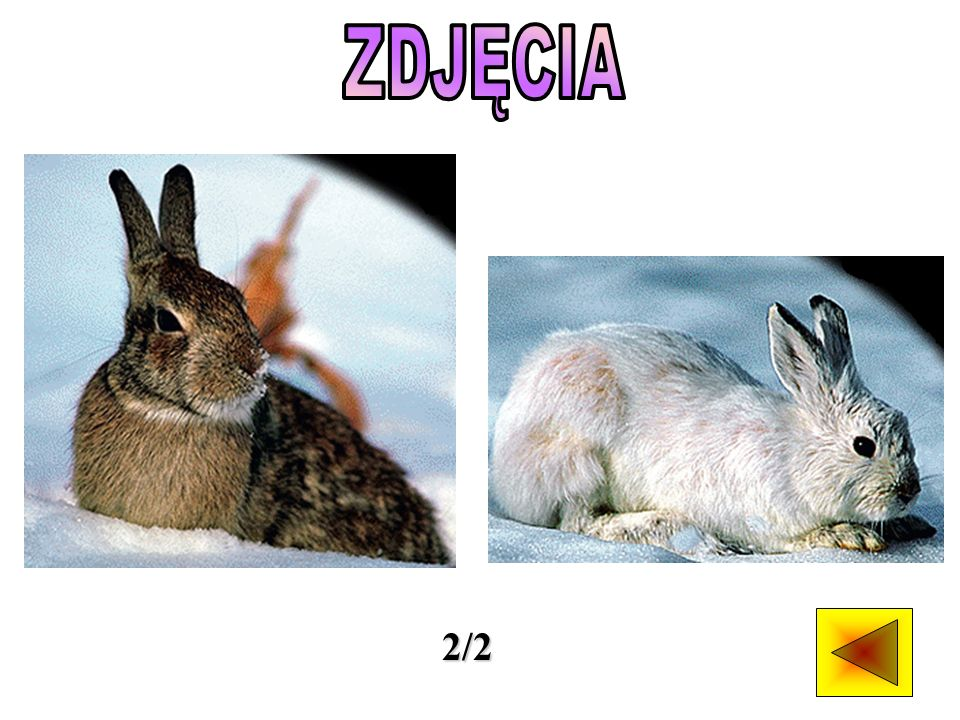 Najbardziej znanym przedstawicielem tej rodziny jest królik.