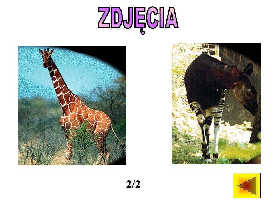 Do rodziny żyrafowatych należą dwa gatunki - żyrafa, zamieszkująca obszary Afryki położone na południe od Sahary oraz okapi, występujące na niewielkim