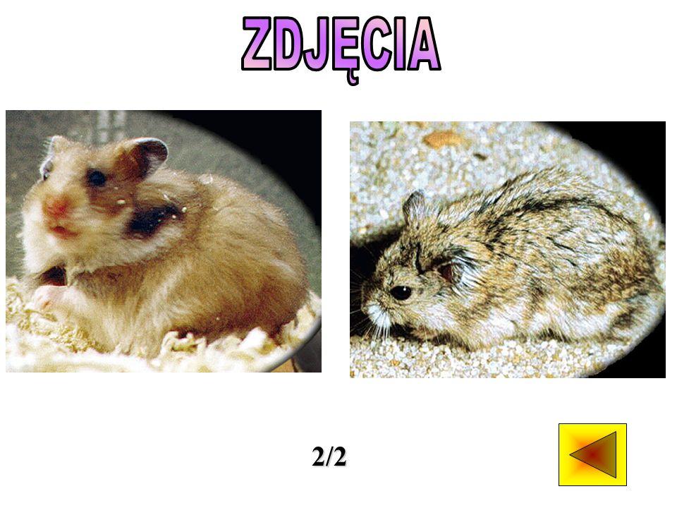 Chomiki są gryzoniami spokrewnionymi ze szczurami i myszami, stąd określa się je gryzoniami szczuropodobnymi.