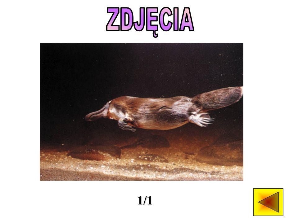 Dziobak, jeśli nie liczyć niektórych gatunków ryjówek, jest jedynym jadowitym ssakiem.