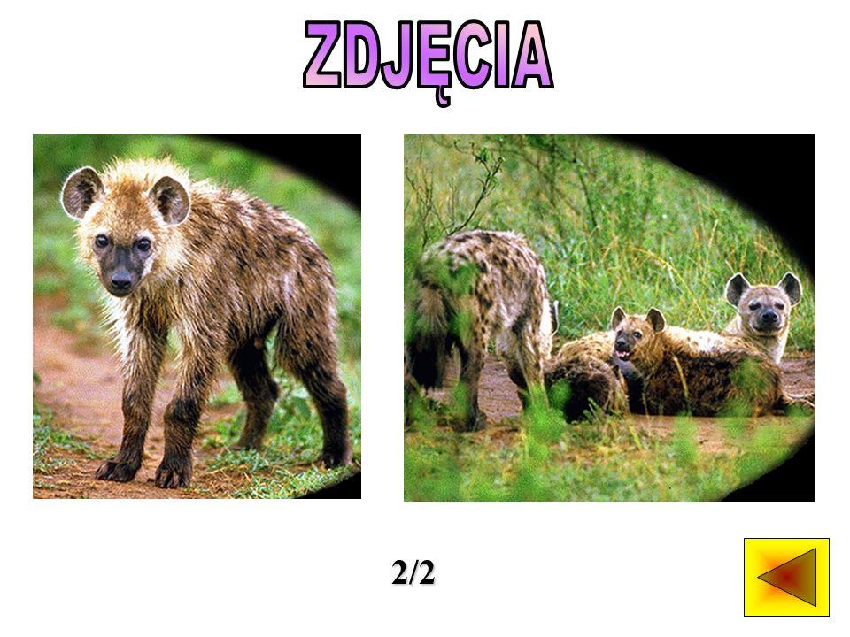 Hieny są ssakami wyglądem przypominającymi psy i występującymi w Afryce i na niektórych obszarach Azji.