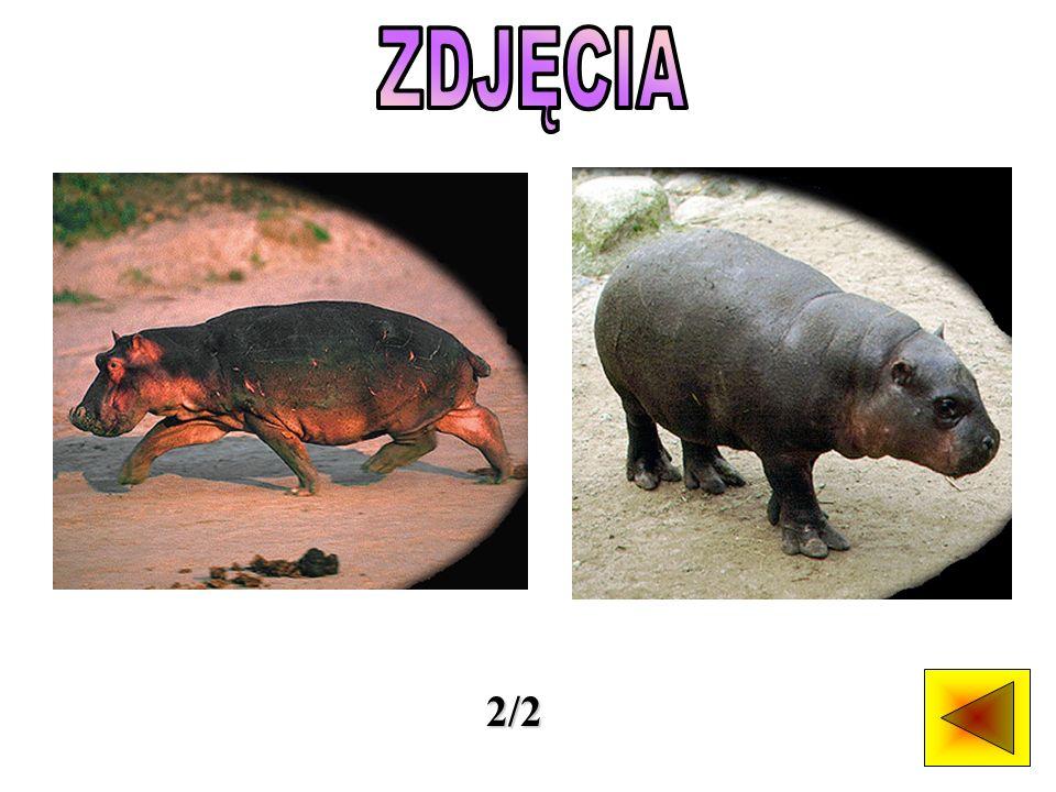 Najbardziej znany jest większy gatunek hipopotama.