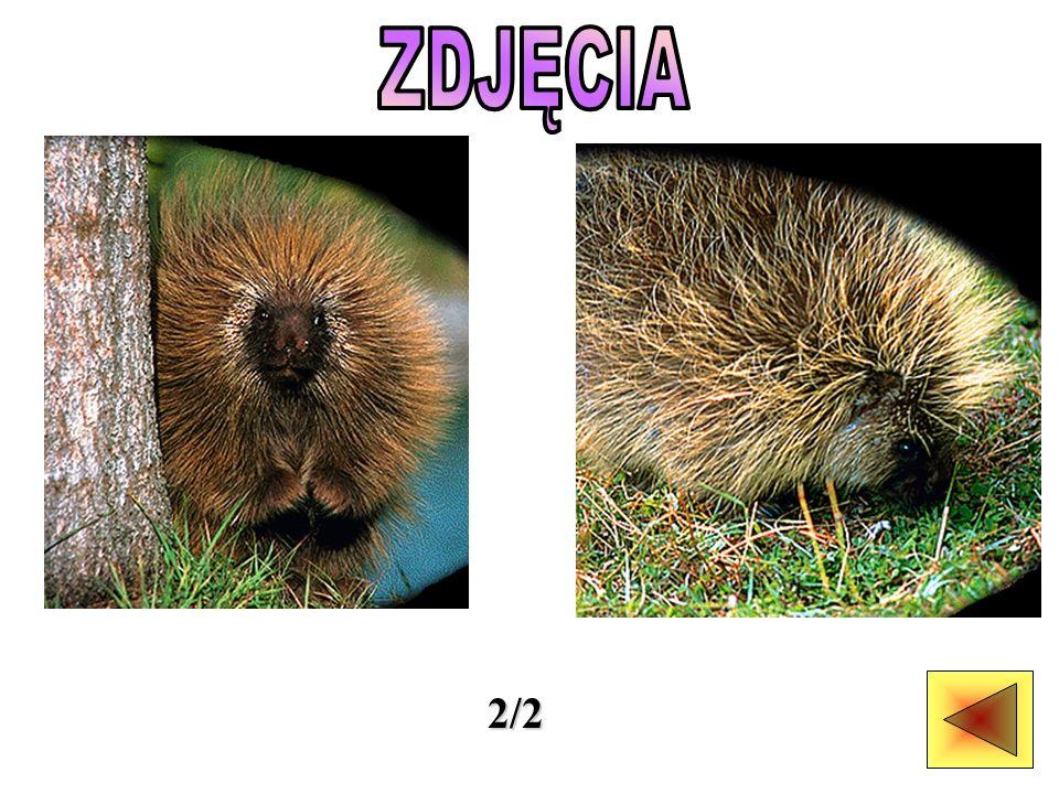 Wszystkie 22 gatunki jeżozwierzy i ursonowatych mają kolce.